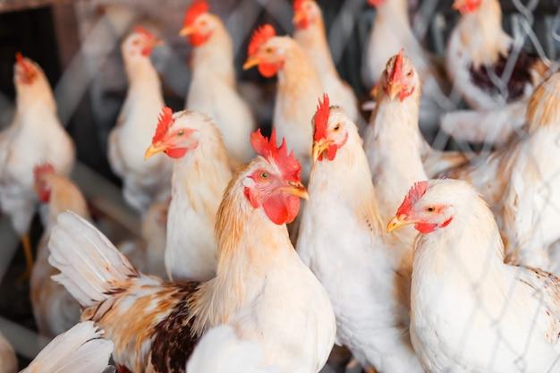 Aves em uma gaiola em uma granja, um galo e galinhas com penas variadas, close up