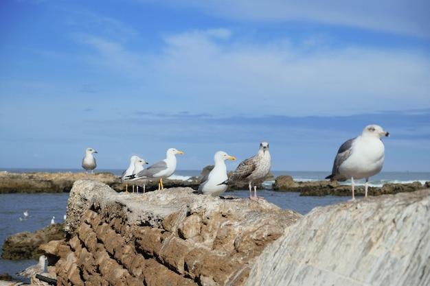 Aves estão de pé na costa do atlântico. cidadela de essaouira, skala du port, marrocos.