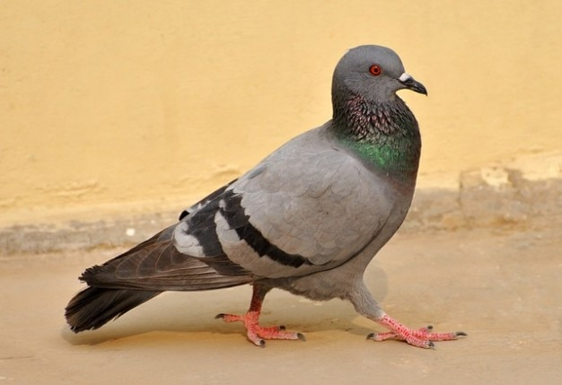 Aves macro pombo pássaros natureza da pena andar cinza