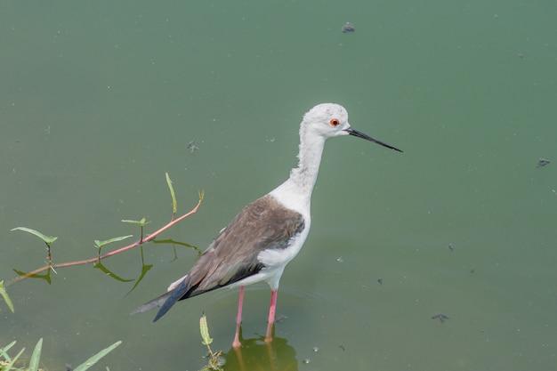 Aves marinhas de pernas longas à procura de comida, redshank manchado, pássaros em laem phak bia