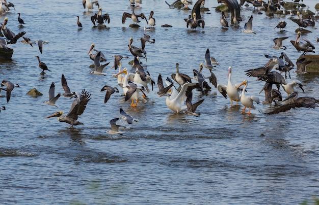 Aves marinhas - pelicanos e gaivotas no golfo mexicano