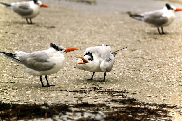 Aves marinhas sternidae paradas na costa durante o dia
