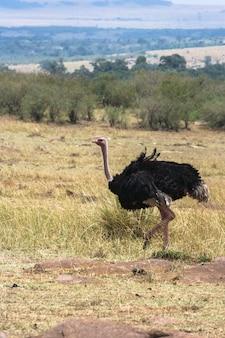 Avestruz africano na savana