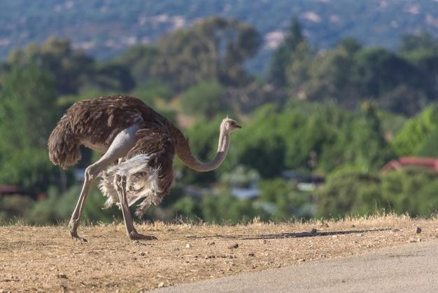 Avestruz andando em um dia ensolarado
