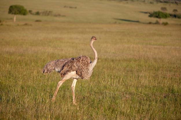 Avestruz andando na savana na áfrica. safári. quênia