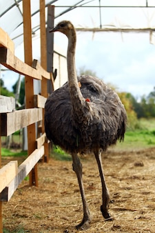 Avestruz bonito