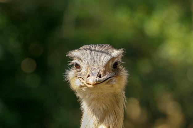 Avestruz cabeça closeup