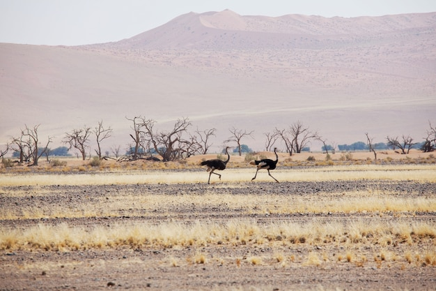 Avestruz correndo em alta velocidade ao longo da estrada no deserto da namíbia