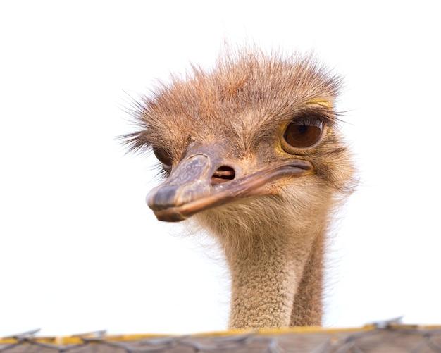 Avestruz engraçado e estranho olha para o quadro com surpresa. a cabeça de um avestruz espiando por trás de uma cerca