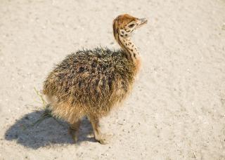 Avestruz jovem, de cabelo