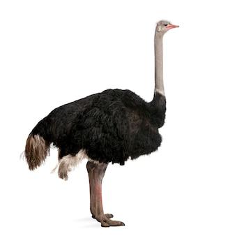 Avestruz masculino, struthio camelus em pé um branco isolado