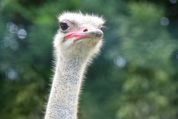 Avestruz na savana está assistindo, close-up