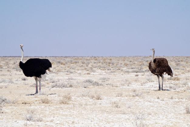 Avestruz no parque nacional de etosha - namíbia