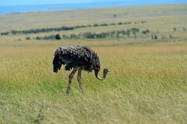Avestruz no parque nacional masai mara. quênia. áfrica.