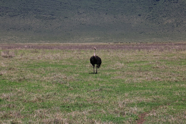 Avestruz no safari no quênia e na tanzânia, áfrica