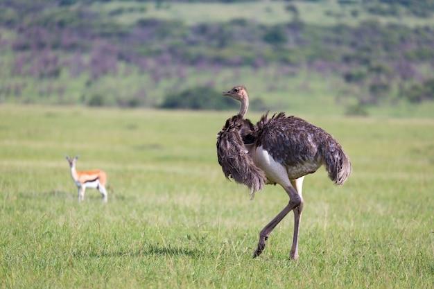 Avestruz pássaros pastando no prado na zona rural do quênia