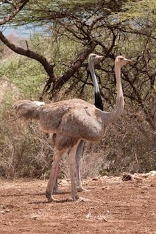 Avestruz vida selvagem no Quênia