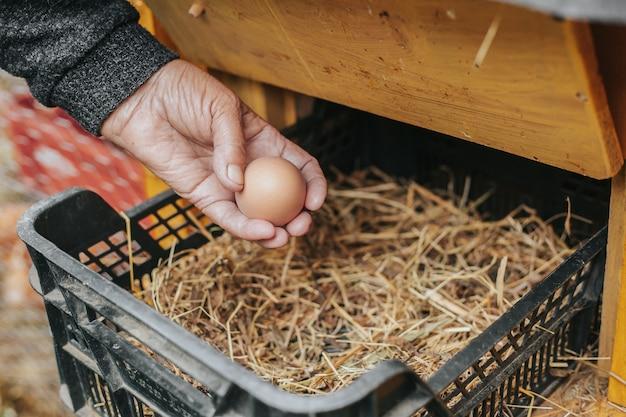 Avó pegando um novo ovo de galinha do galinheiro, comida ecológica