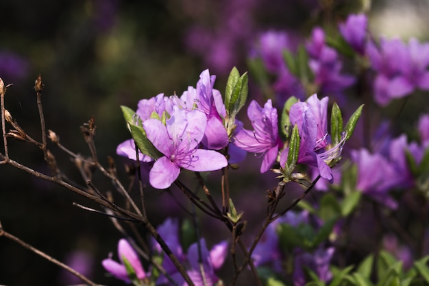 Azálea grande ou rododendro no jardim. estação das azáleas de floração (rododendro) no jardim botânico
