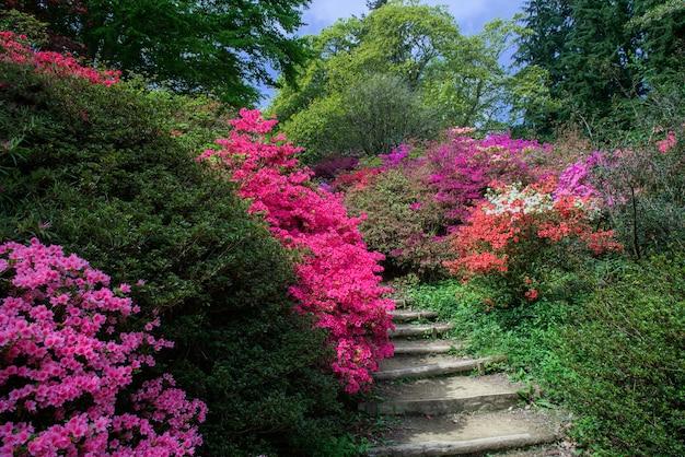 Azáleas em plena floração