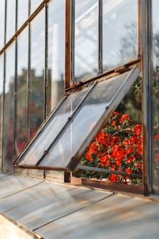 Azáleas vermelhas de florescência na estufa em uma janela levemente aberta, foco macio seletivo. plantas com flores crescendo no jardim botânico