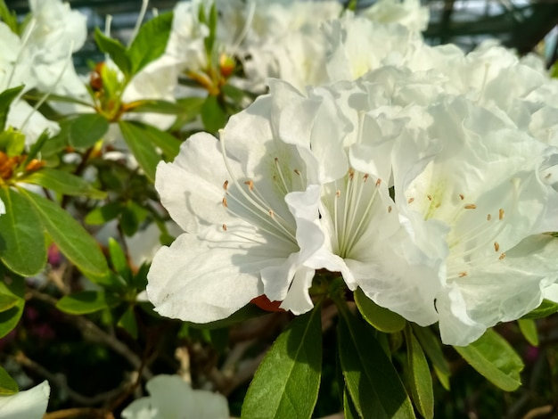 Azaléia de flores florescendo na primavera cheia de flores de azaléia rosa japonesa