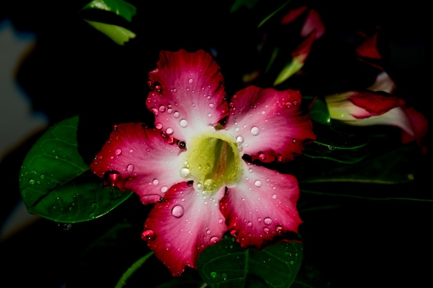 Azaléia flores noite escuro gota água