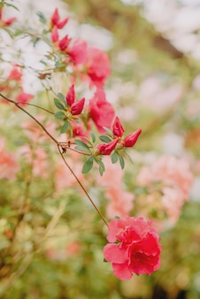 Azaléias em flor em uma estufa