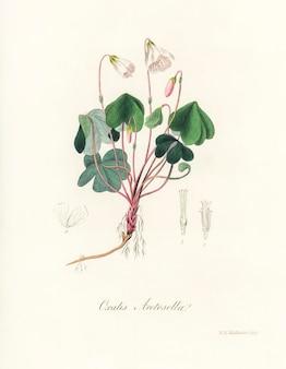 Azeda de madeira (oxalis acetosella) ilustração de medical botany (1836)
