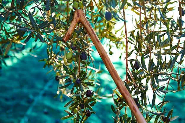 Azeitonas colhendo e colhendo palitos no mediterrâneo