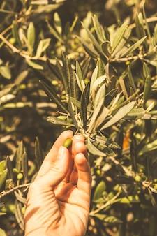 Azeitonas de baga na mão feminina conceito de plantas de montenegro
