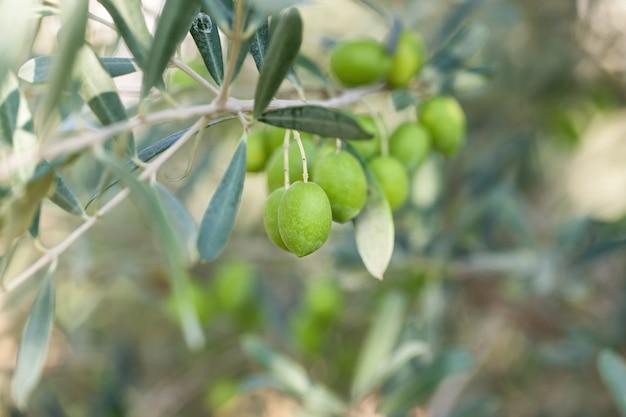 Azeitonas na oliveira com bokeh.
