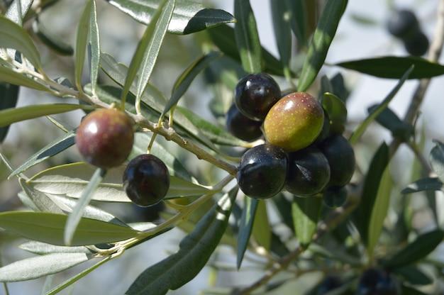 Azeitonas penduradas na árvore