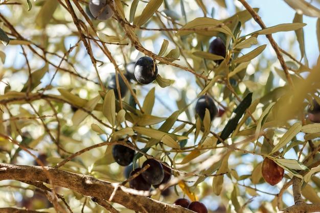 Azeitonas verdes e pretas maduras crescem na árvore