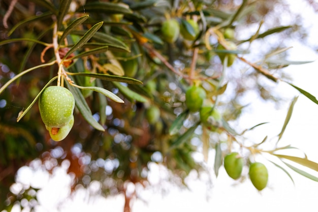 Azeitonas verdes que penduram da oliveira para fazer o óleo.