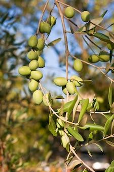 Azeitonas verdes