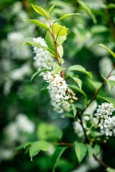 Azereira branca florescendo na primavera