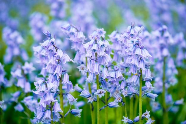 Azul bluebell espanhol hyacinthoides hispanica flores no campo