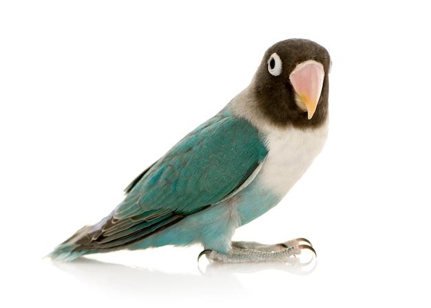 Azul mascarado - agapornis personata lovebird na frente em um branco isolado