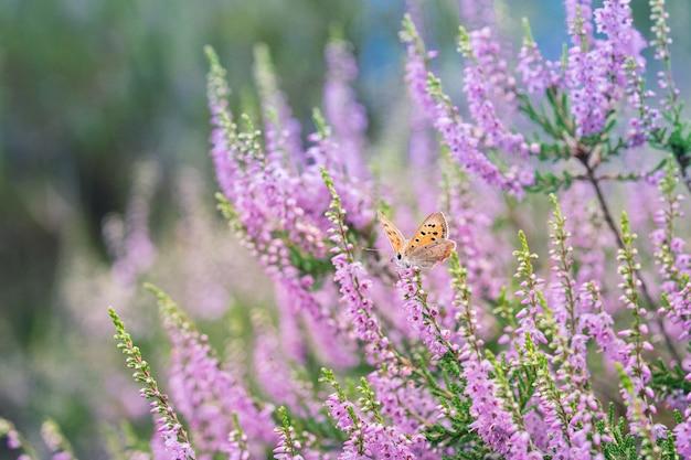 Azul urze (plebeius argus), pequenas borboletas