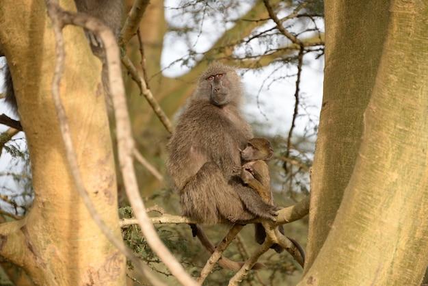 Babuíno em estado selvagem, áfrica