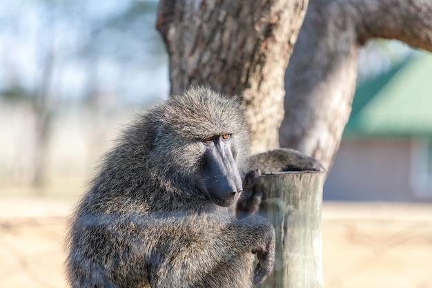 Babuíno em uma árvore