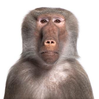 Babuíno - simia hamadryas em um branco isolado
