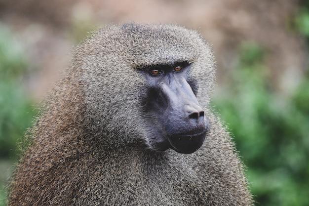 Babuínos da guiné em ambiente natural