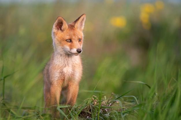 Baby fox jovem raposa vermelha na grama perto de seu buraco