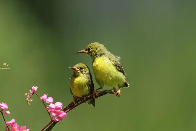 Baby olivebacked sunbirds alimentando a criança