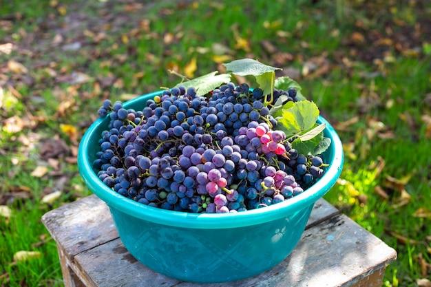 Bacia com uvas maduras de isabella pretas no jardim. coleção de deliciosas frutas para fazer vinho.