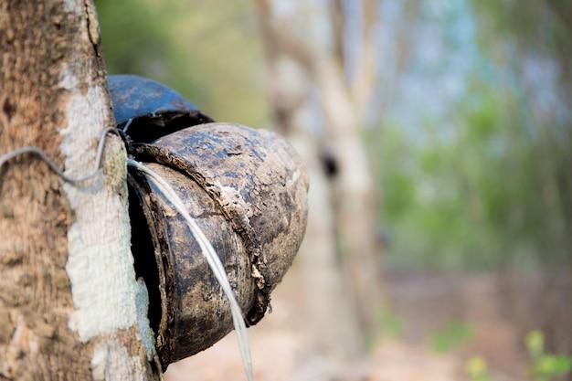 Bacia velha na árvore da borracha.