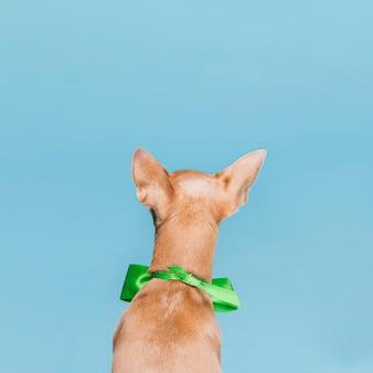 Backview cachorro pequeno com uma gravata borboleta