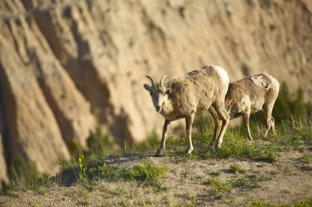 Badlands sheep
